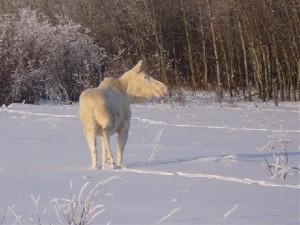 snow moose 1