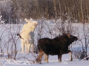 snow moose 2